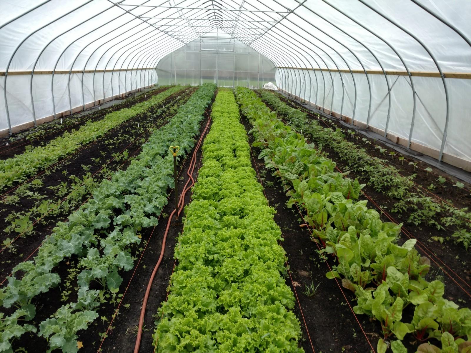 Hoop house vegs growing