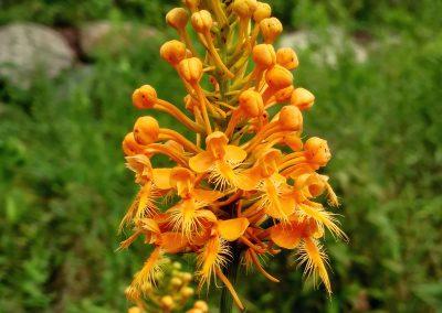 Orange-fringed orchid
