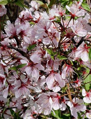 Prunus nigra-UM Herbarium