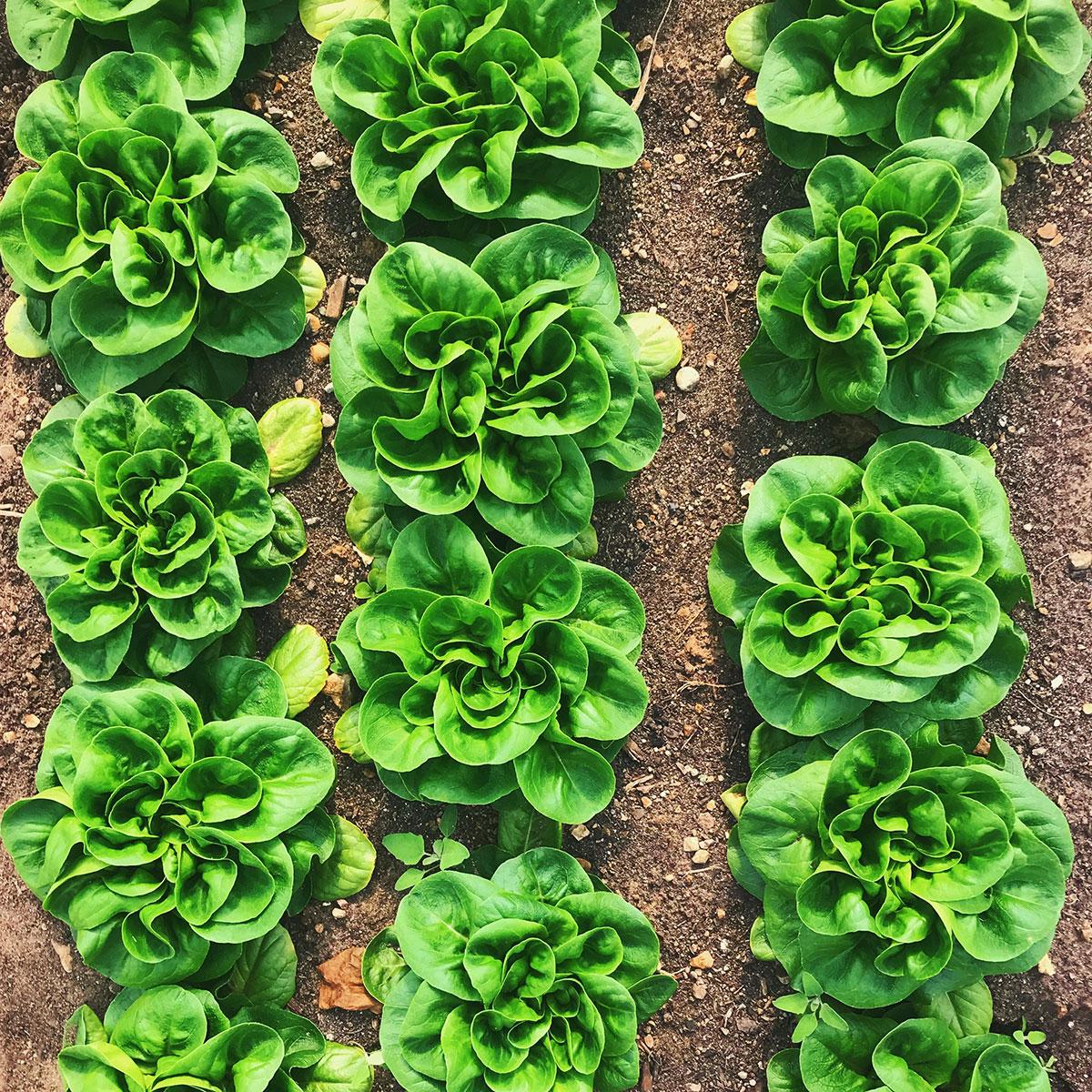 Salanova-lettuce