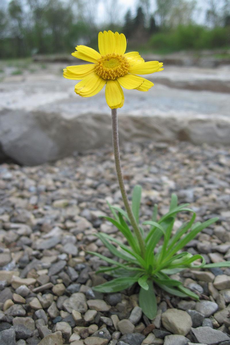 Lakeside-daisy-Great-Lakes-Gardens