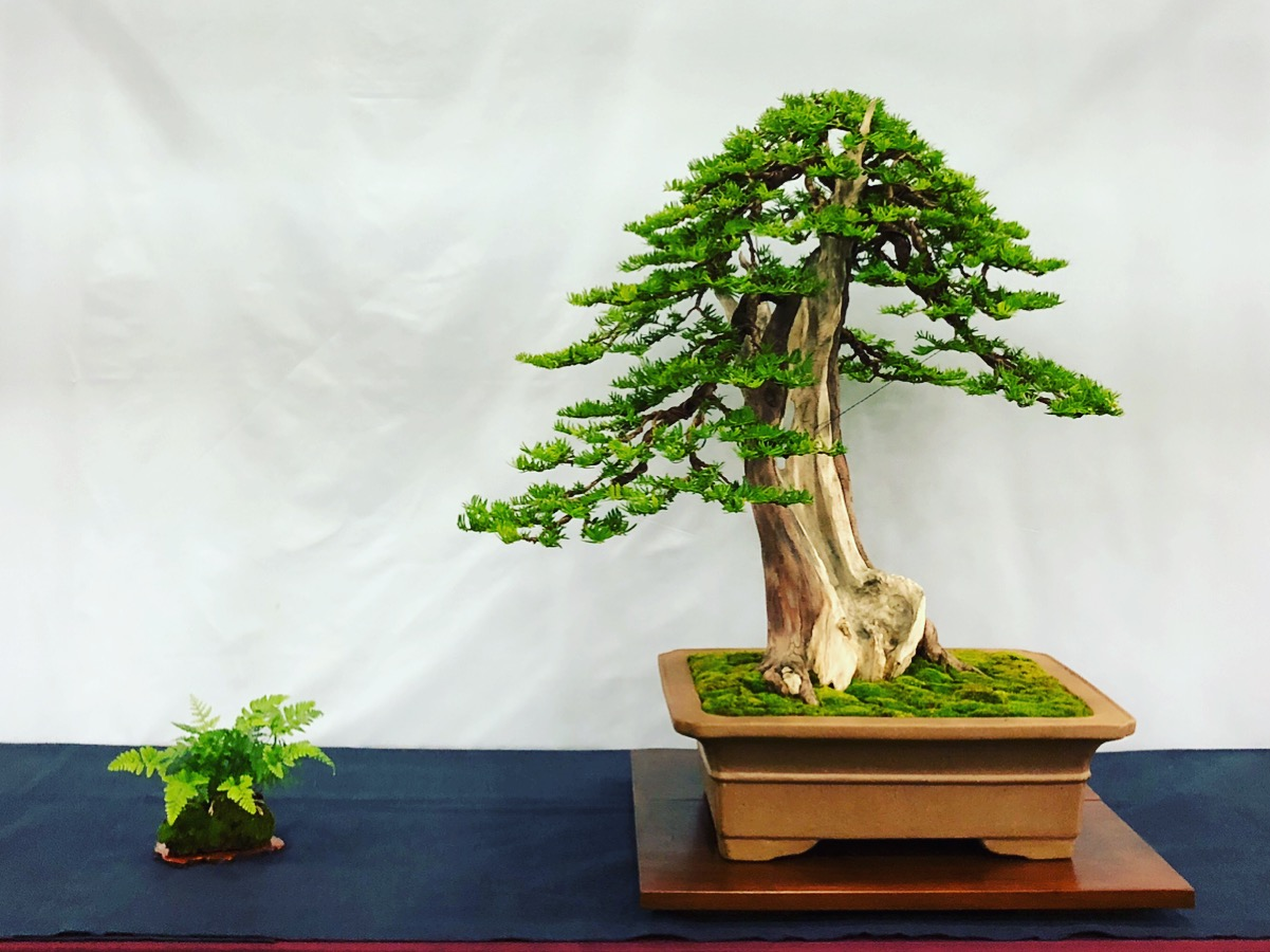 Yew at Bonsai Show