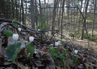 The spring flower called bloodroot blooms in Nichols Arboretum. Photo by Michele Yanga.