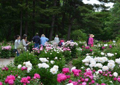 Visitors enjoy the Nichols Arboretum Peony Garden. Photo by Michele Yanga.