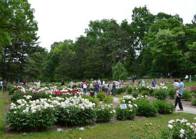 The Nichols Arboretum Peony Garden in bloom. Photo by Michele Yanga.