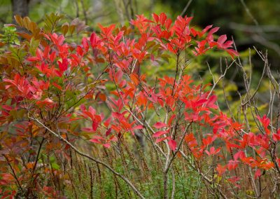 Poison sumac glows with fall color at Matthaei. Photo by John Metzler.