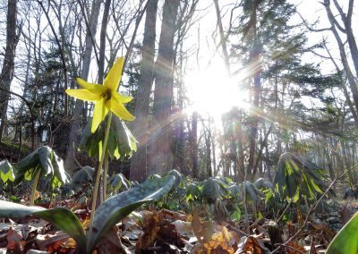A trout lily in the Arb. Photo by Michele Yanga.