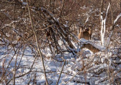 Deer at Matthaei.
