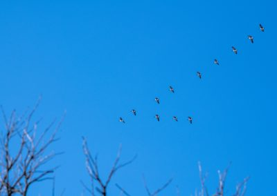 A group of Canada geese fly in the classic V formation above Matthaei Botanical Gardens. Photo by John Metzler.