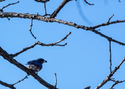 An eastern bluebird (Sialia sialis) rests for a moment on a branch at Matthaei Botanical Gardens. Photo by John Metzler.