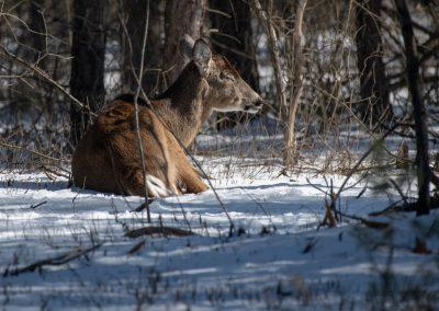 A deer resting near a trail at Matthaei Botanical Gardens.