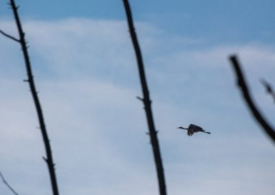 The sandhill cranes (Grus canadensis) have returned to Matthaei Botanical Gardens.