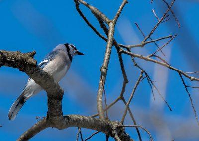 Blue Jay at Matthaei. Photo by John Metzler.