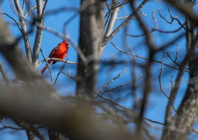 Cardinal at Matthaei. Photo by John Metzler.