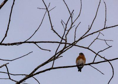 Male red-bellied woodpecker at Matthaei. Photo by John Metzler.