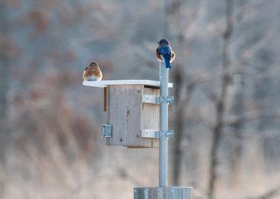A pair of eastern bluebirds at Matthaei. Photo by John Metzler.
