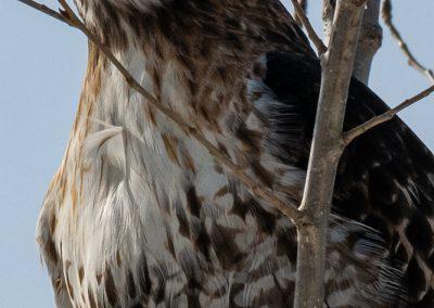 Red-tailed Hawk. Photo by John Metzler.