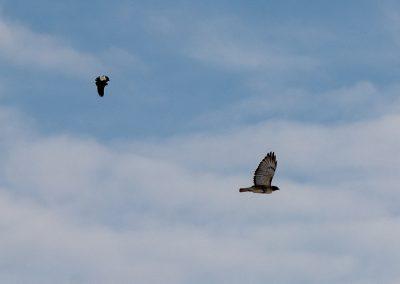Red-winged blackbird chasing a hawk at Matthaei. Photo by John Metzler.