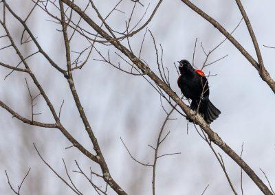 Red-winged blackbird singing at Matthaei. Photo by John Metzler.
