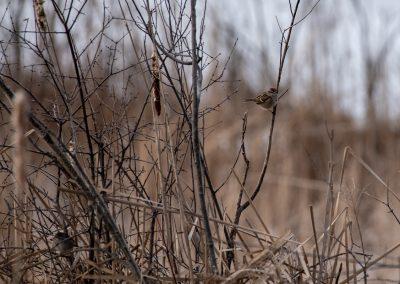 Song sparrow. Photo by John Metzler.