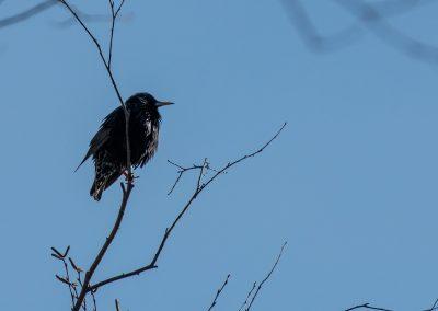 European Starling. Photo by John Metzler.