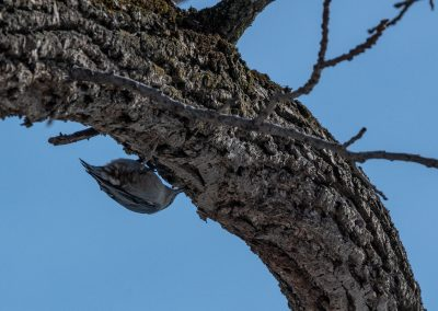 White-breasted nuthatch. Photo by John Metzler.