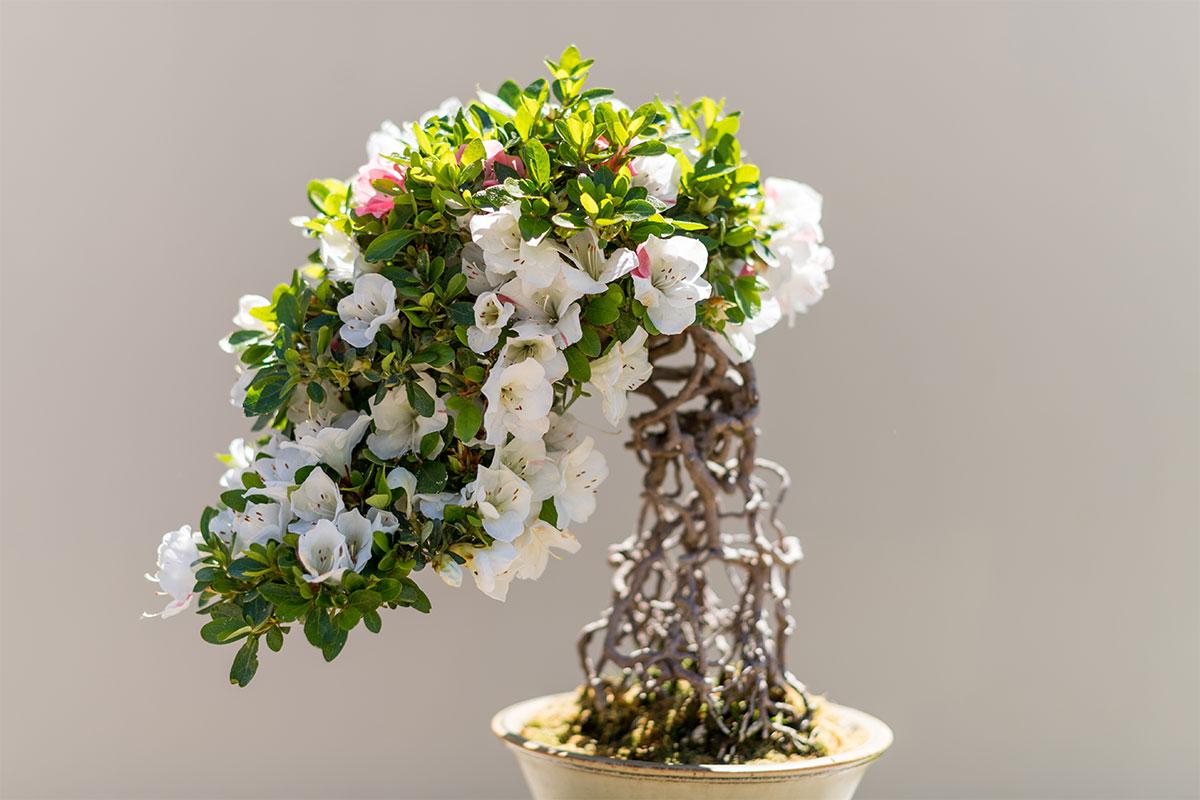 Satsuki bonsai azalea