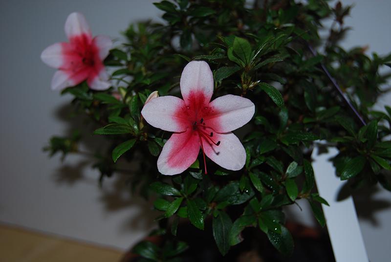 Hi-no-maru flower