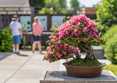 Bonsai azalea at matthaei