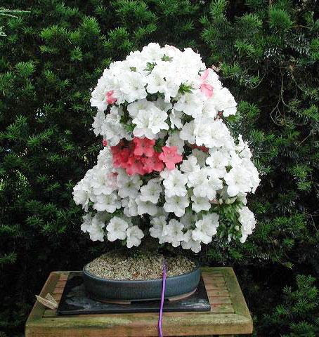 satsuki azalea in Mels garden
