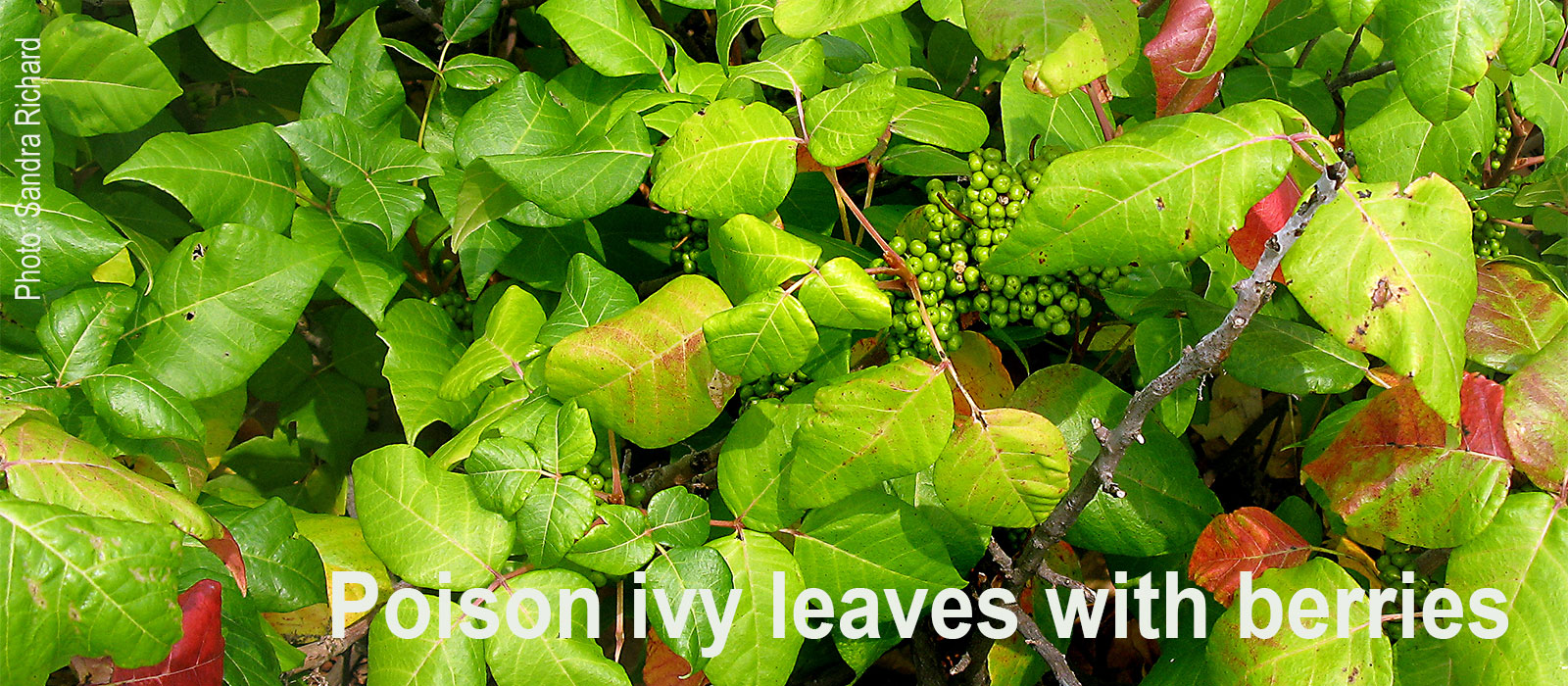 Poison-ivy-with-berries-Sandra-Richard
