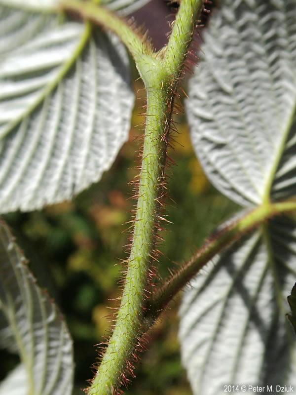 Raspberry stems
