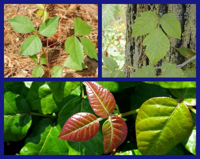 Three forms of poison ivy leaves