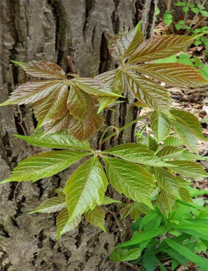 Virginia creeper leaves