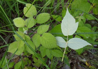 Wild red raspberry leaves