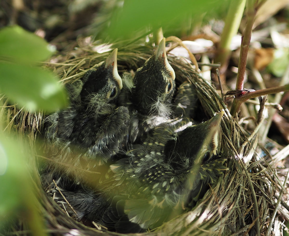 Robin-chicks-in-a-peony-plant