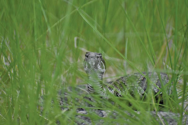 Massasauga rattlesnake at Matthaei