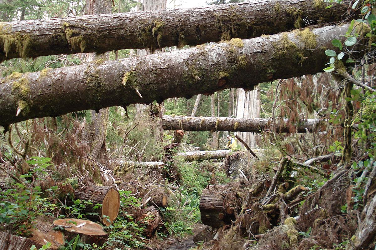 Windthrow-damage-at-Pacific-Rim-National-Park-GTrain