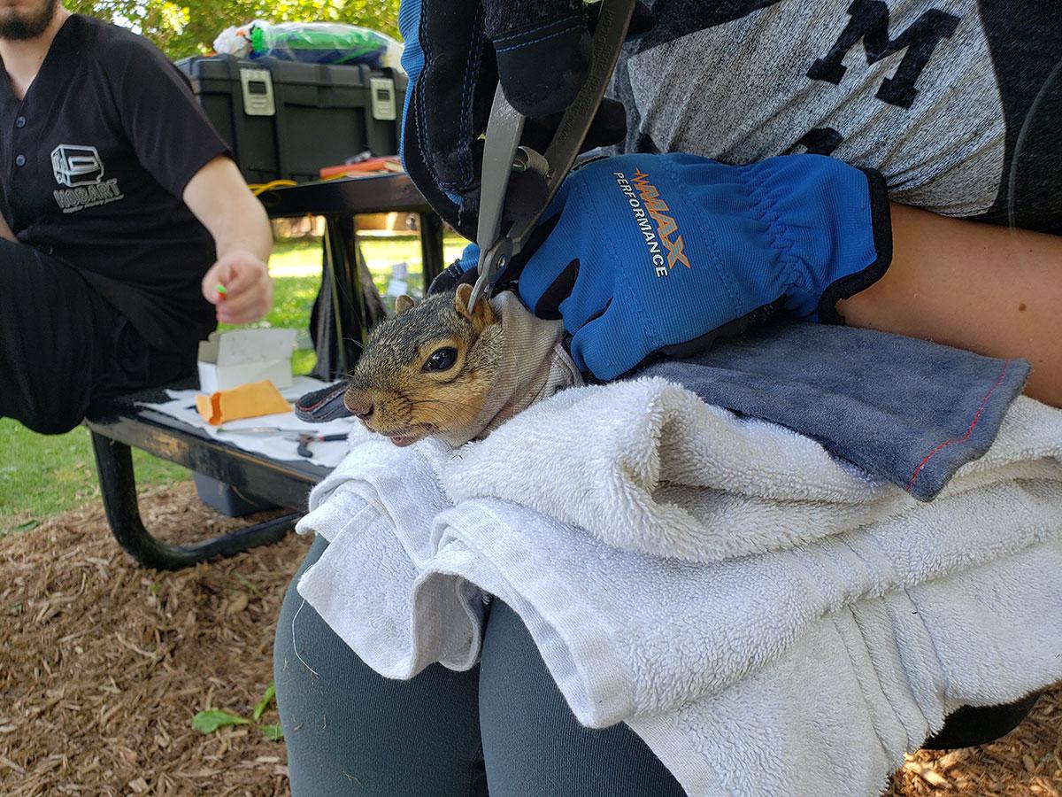 Squirrel-getting-tagged