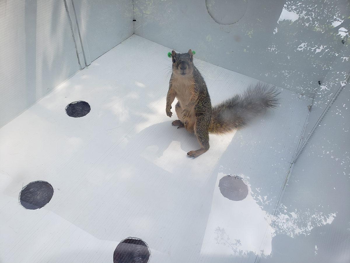 Squirrel-in-arena