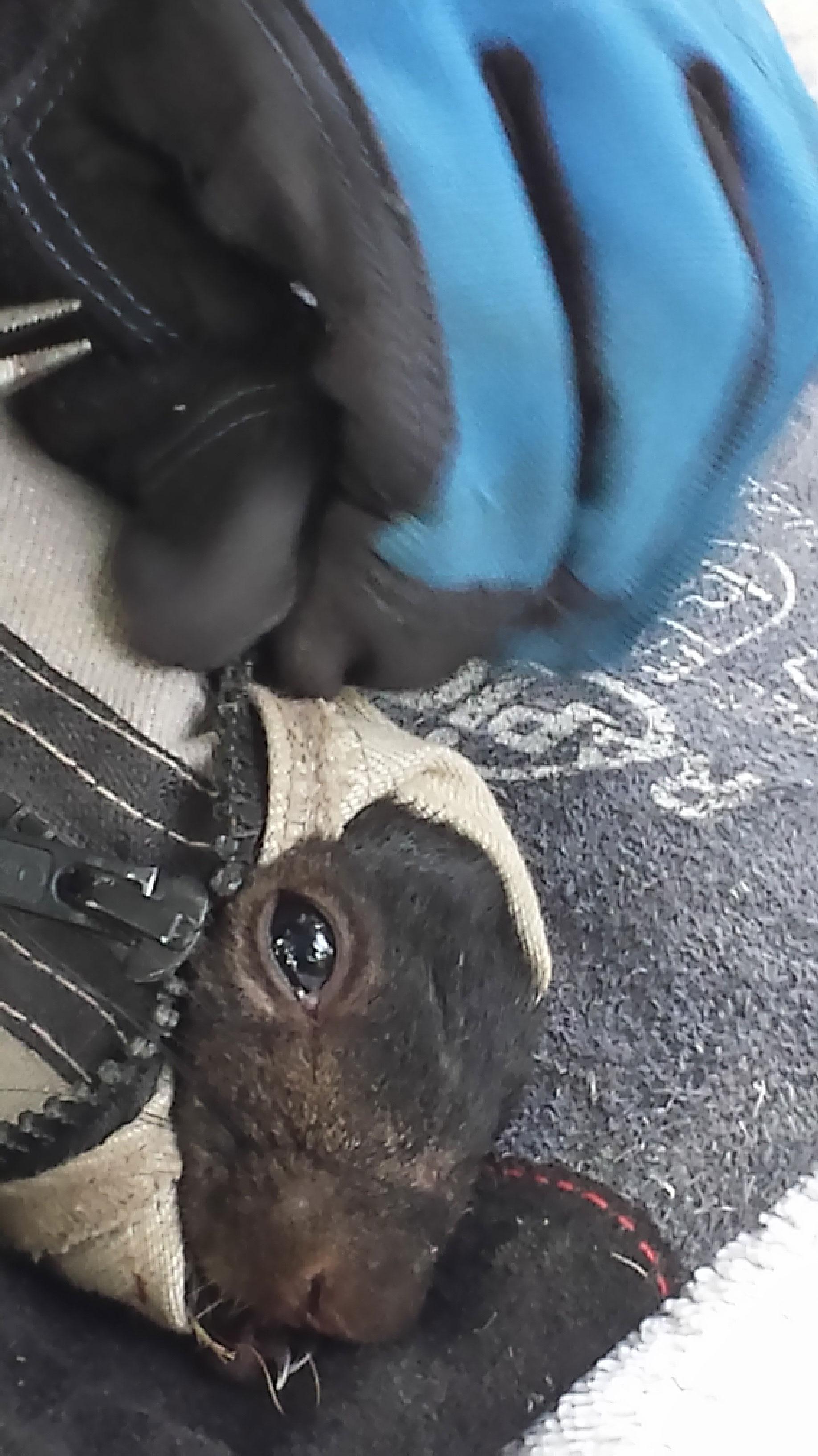 Squirrel-in-capture-bag
