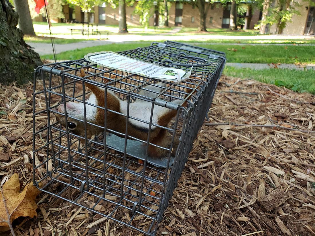Squirrel-in-trap