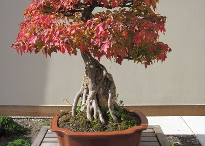 Fall colors on a bonsai tree in the Bonsai and Penjing Garden at Matthaei. (Photo by Michele Yanga.)