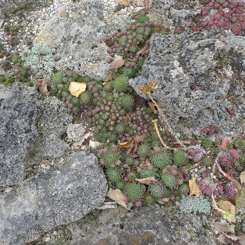 Tufa rock with plants growing