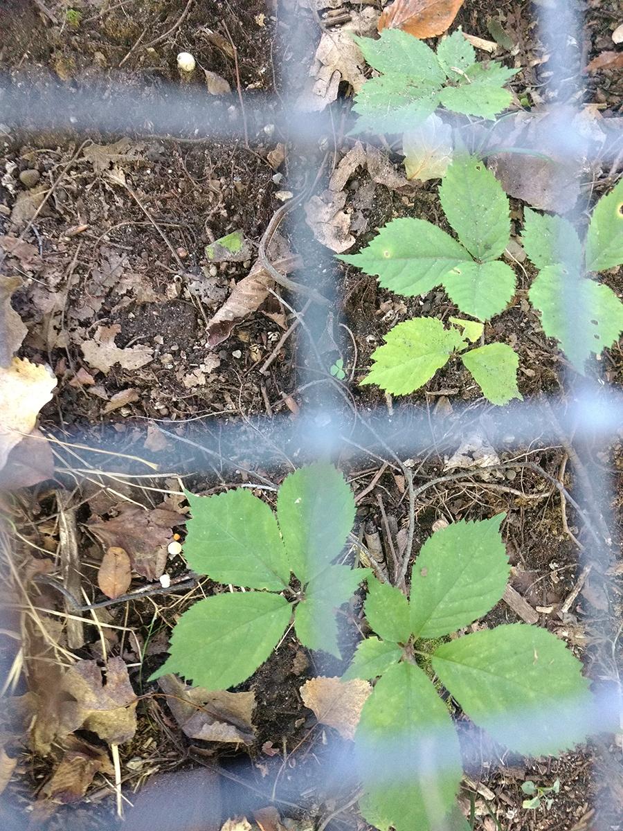 Ginseng growing at Matthaei
