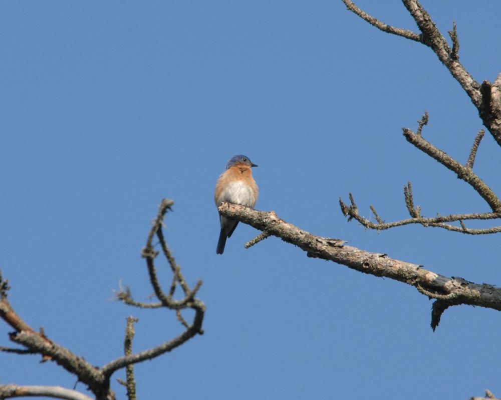 Eastern bluebird in Nichols Arboretum