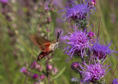 Hummingbird Moth on Liatris