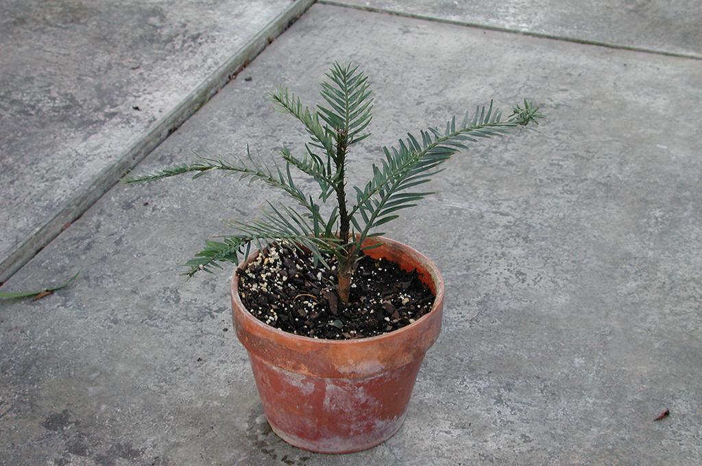 Wollemi Pine Cutting