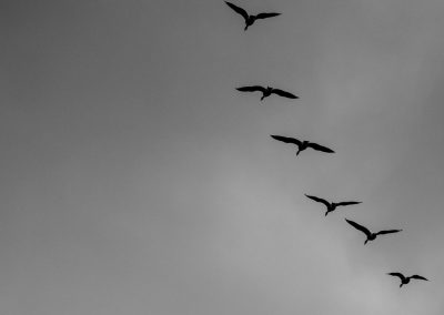 Geese silhouetted against the winter sky