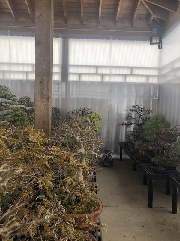 Temperate bonsai in the cold storage area